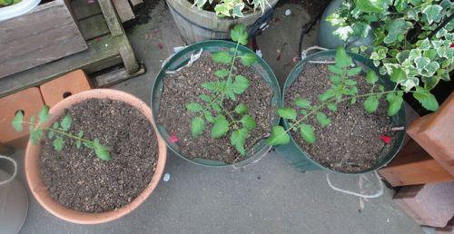 トマトの挿し芽株
