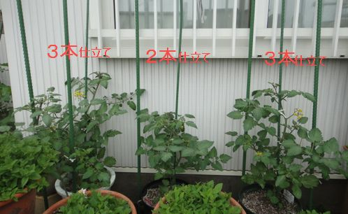 大きくなったトマトと支柱立ての様子