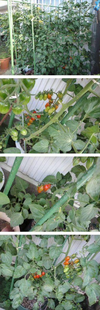 トマトの実が赤くなっています。