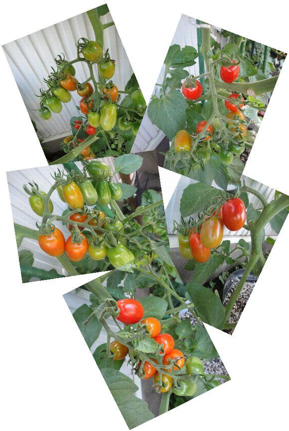 赤いトマトの様子