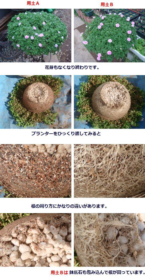 根の様子 1