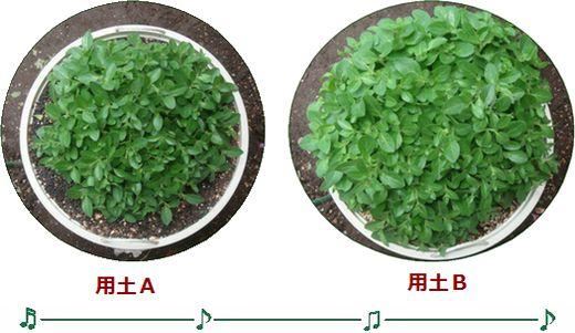 用土の違いとお花の成長ぶり