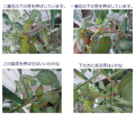 トマトの脇芽の残し方
