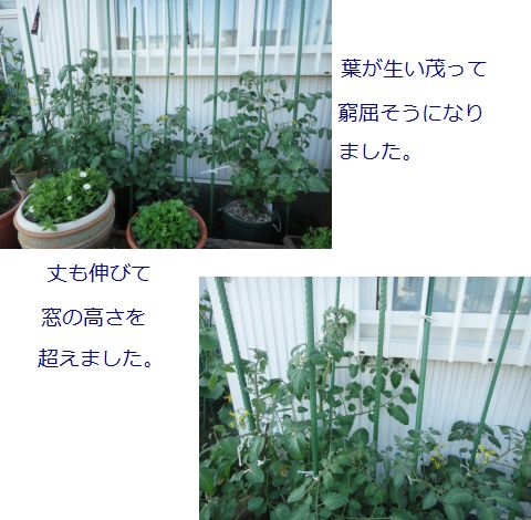 トマトの成長の様子