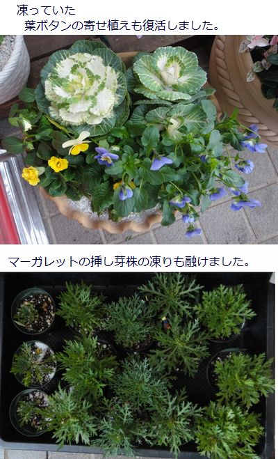 元気になった寄せ植えのお花とマーガレット