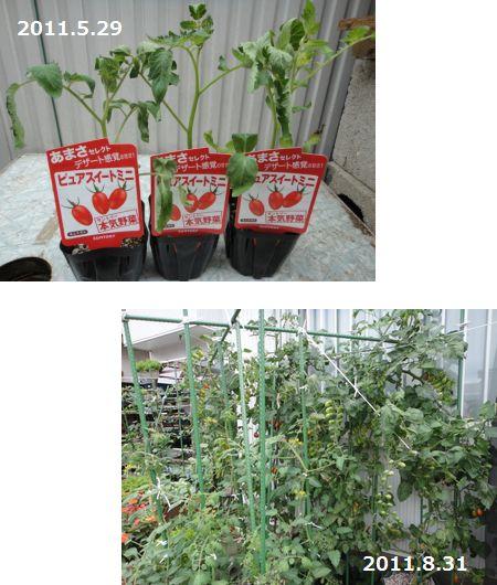 最初の苗の様子と現在のトマトの様子