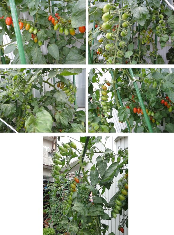 たわわに実っているトマトの様子