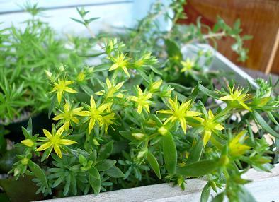ツルマンネングサのお花.JPG