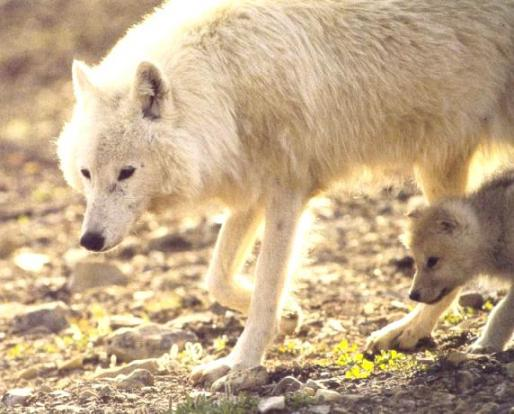 White Polarwolf baby.jpg
