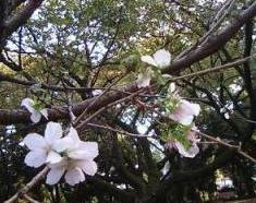 十月桜 千駄ヶ谷門