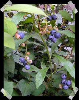 blueberry2009