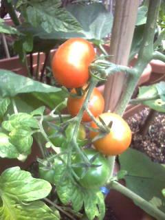 もうすぐ収穫トマト