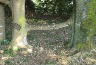 つながる木