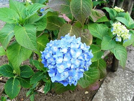 2007_0528紫陽花10.JPG