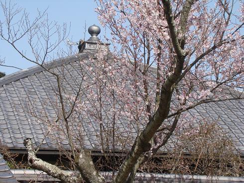 東慶寺・桜