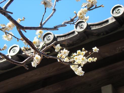 鎌倉・光則寺 白梅