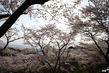 かごぼう山の桜 1