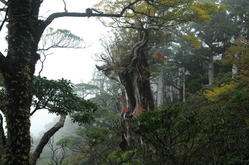 屋久杉の紅葉