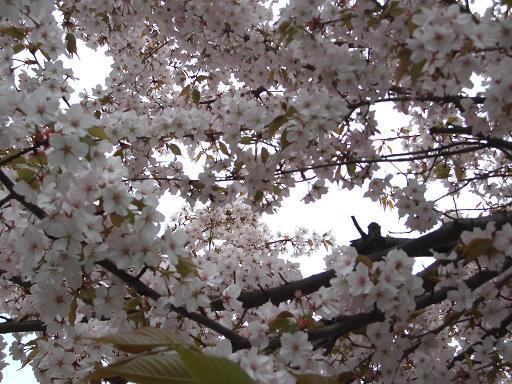 3・31桜5