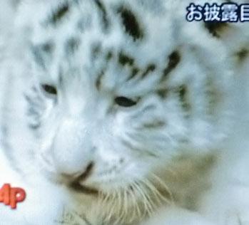'10.8.6日記Wタイガーベイビイ1