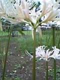 彼岸花(乳白色)06-09-23.jpg