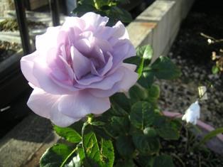 2個目のブルーバユーの花