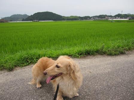 田んぼの散歩道