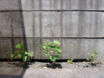 ぶどう栽培に挑戦