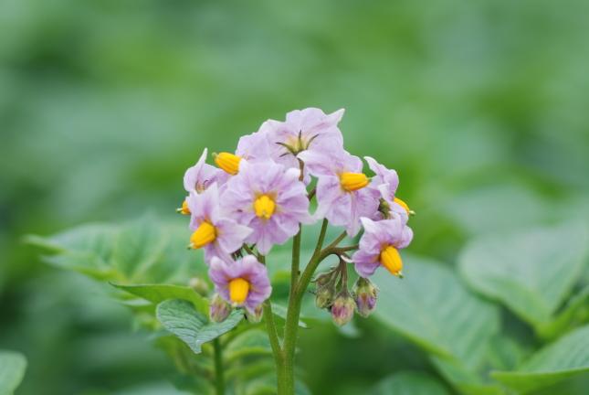 2008-05-19ジャガイモの花