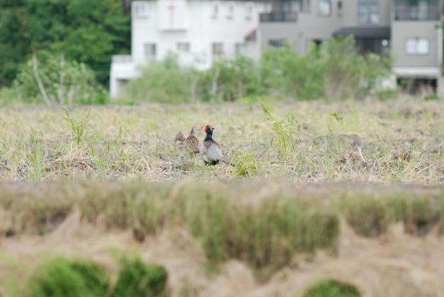2008-05-19雉さん後姿