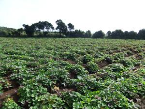 種子島 安納芋の畑
