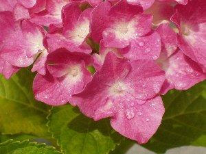 紫陽花 2007 アップ.jpg