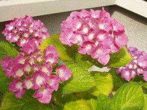 紫陽花 2007.jpg