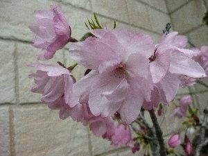 2008 うちの桜.jpg