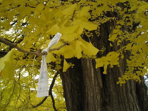 国分寺の銀杏の木 おみくじ