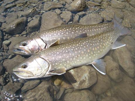 21日 岩魚 5