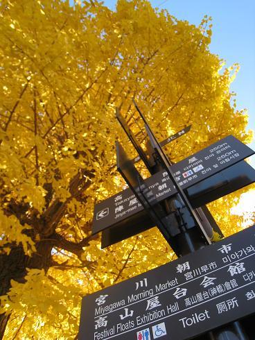 高山市内 宮川沿い銀杏の紅葉 3