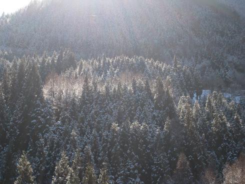 丹生川の檜の山 雪化粧