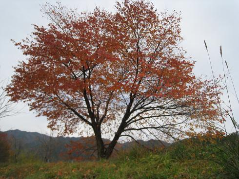 宮村の桜の木 2