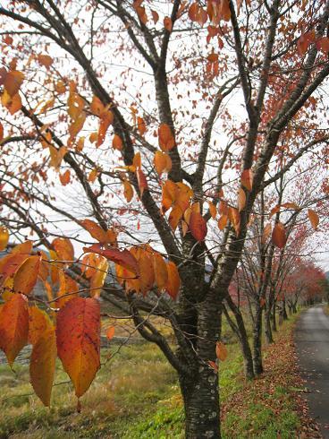 宮村の宮川沿いの桜並木