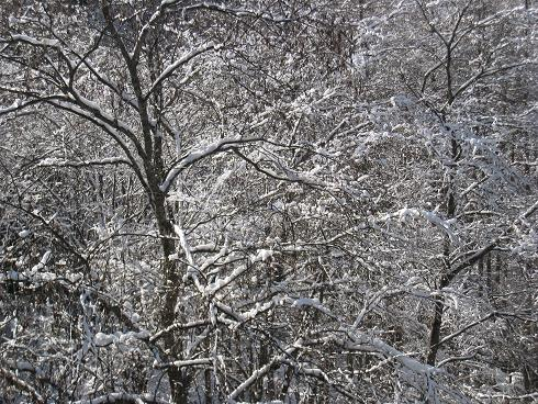 広葉樹の雪化粧