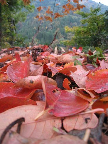 柿の葉の落ち葉