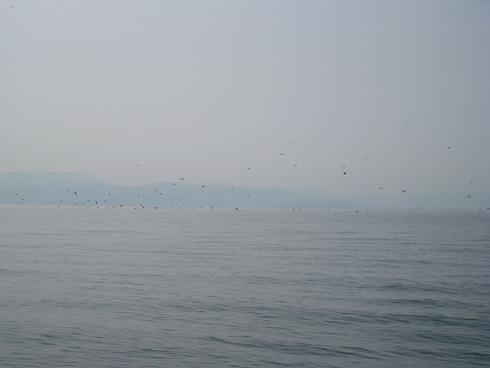 琵琶湖 鵜の大群