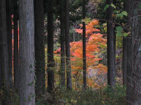 清見 杉林から見た紅葉
