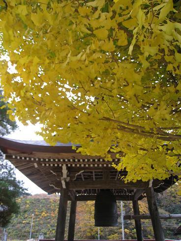 円徳寺 銀杏