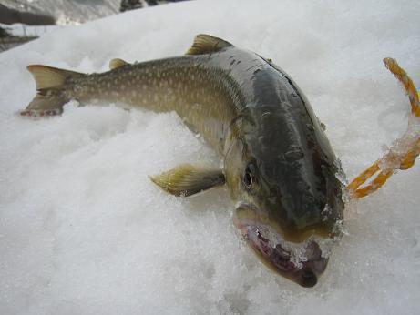 今年初Get! 天然大岩魚 雄 48cm