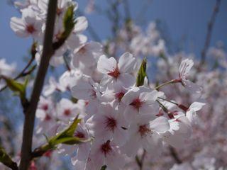 2011 4月桜.jpg