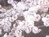 満開の桜2008疎水