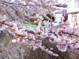 疎水の桜2008
