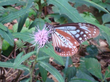 神島の蝶2